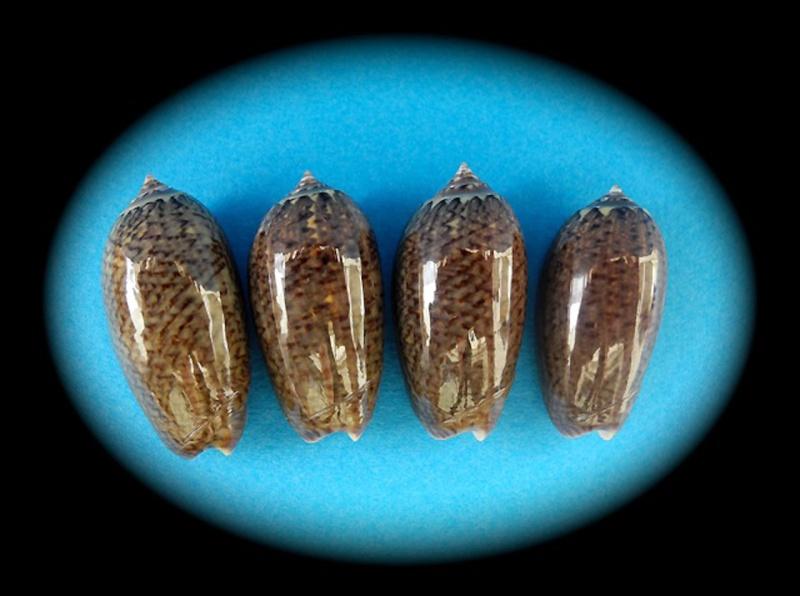 Americoliva truncata (Marrat, 1867) Oliva140