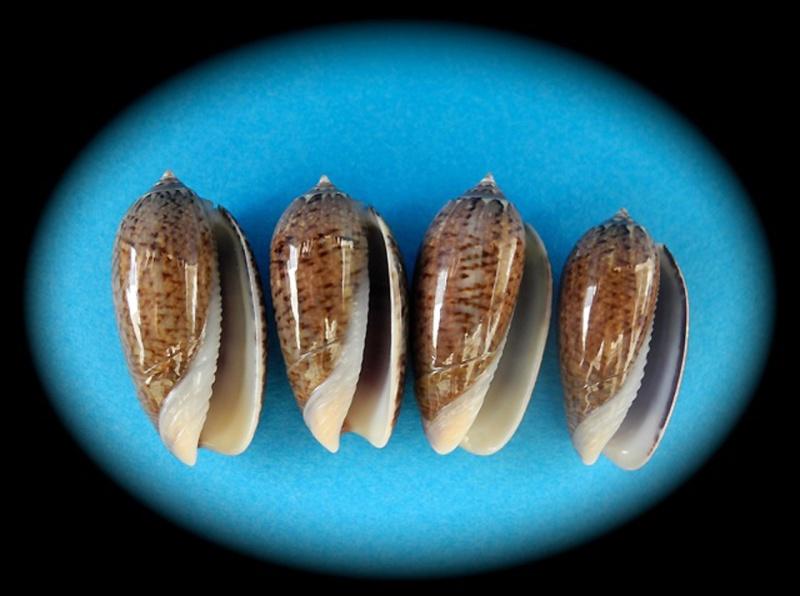 Americoliva truncata (Marrat, 1867) Oliva141