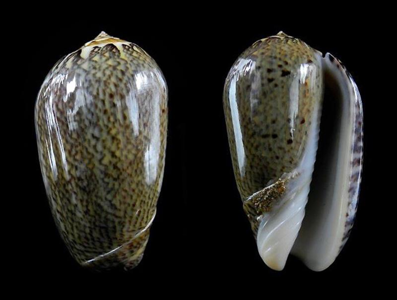 Americoliva polpasta (Duclos, 1833) Oliva150