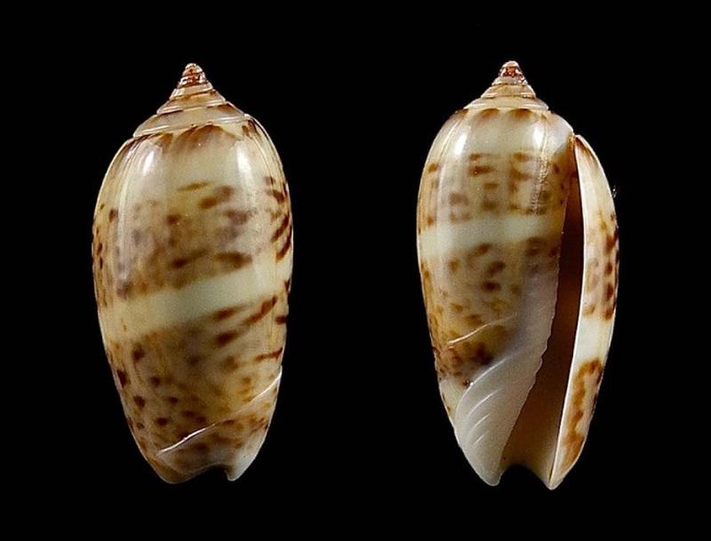 Americoliva kerstitchi (da Motta, 1985) Oliva154