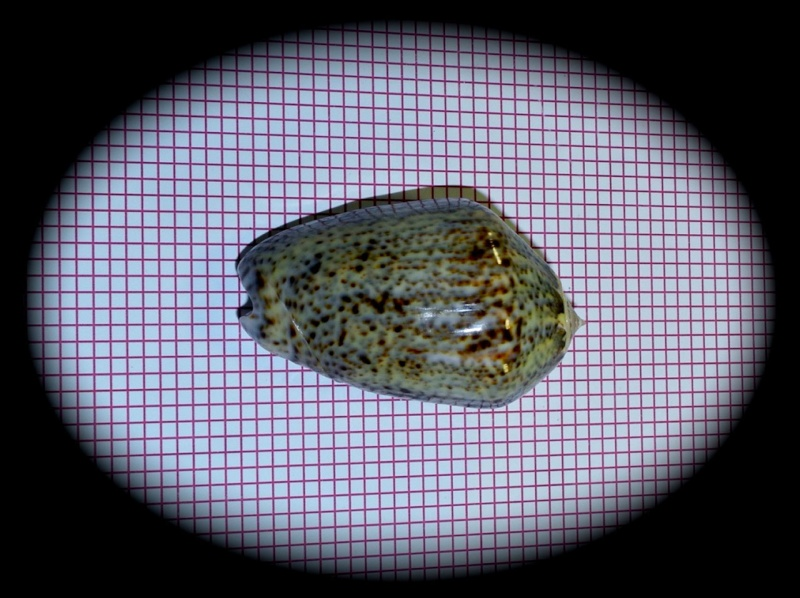 Americoliva incrassata (Lightfoot in Solander, 1786) Oliva162