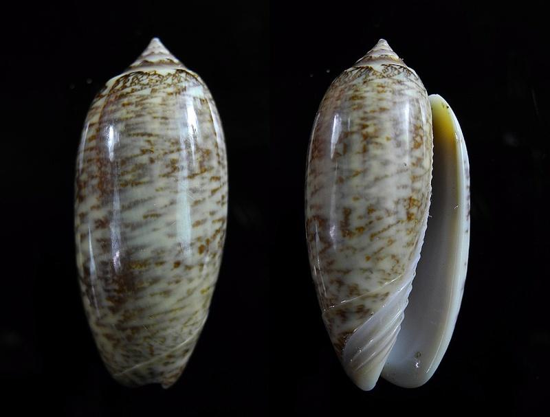 Americoliva bollingi goajira (Petuch & Sargent, 1986) - Worms = OLiva nivosa bollingi (Clench, 1934) Oliva166