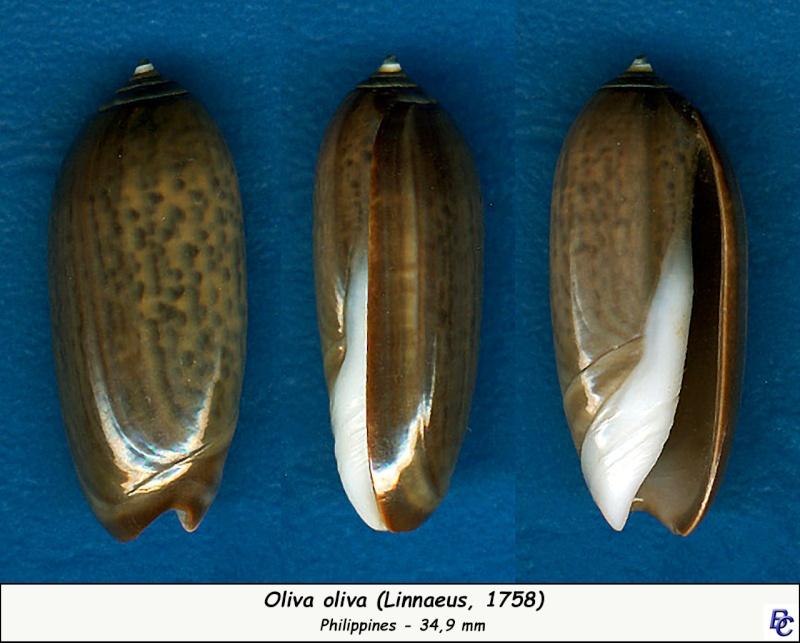 Oliva oliva (Linnaeus, 1758) - Page 2 Oliva180