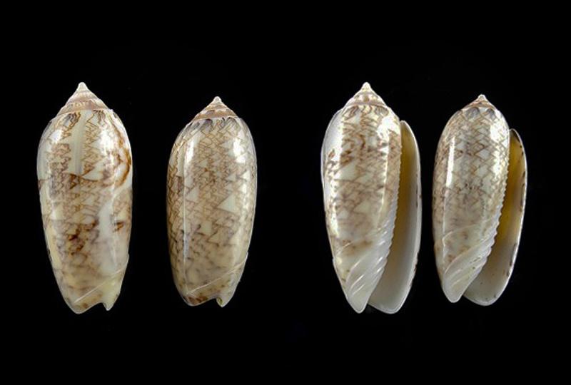 Americoliva circinata jorioi (Petuch, 2013) - Worms = Oliva circinata circinata Marrat, 1871 Oliva_22