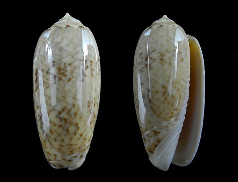 Americoliva contoyensis (Petuch & Sargent, 1986) Oliva_24