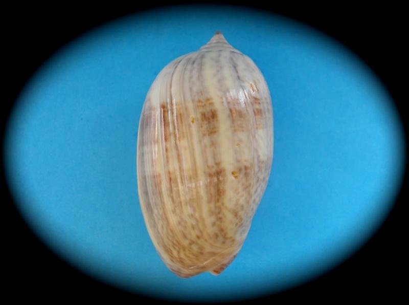 Americoliva obesina (Duclos, 1840) - Worms = Americoliva obesina (Duclos, 1840) Oliva_26