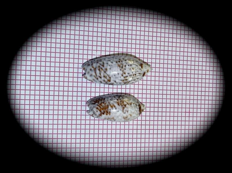 Americoliva reticularis reticularis (Lamarck, 1811) Oliva_65