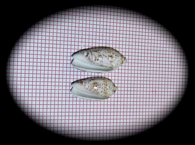 Americoliva reticularis reticularis (Lamarck, 1811) Oliva_66