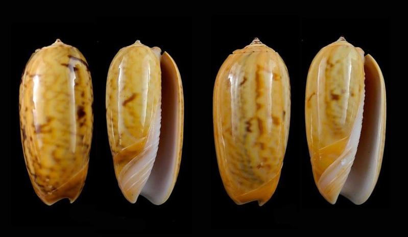 Viduoliva westralis (Petuch & Sargent, 1986) - Worms = Oliva westralis Petuch & Sargent, 1986 Oliva_87