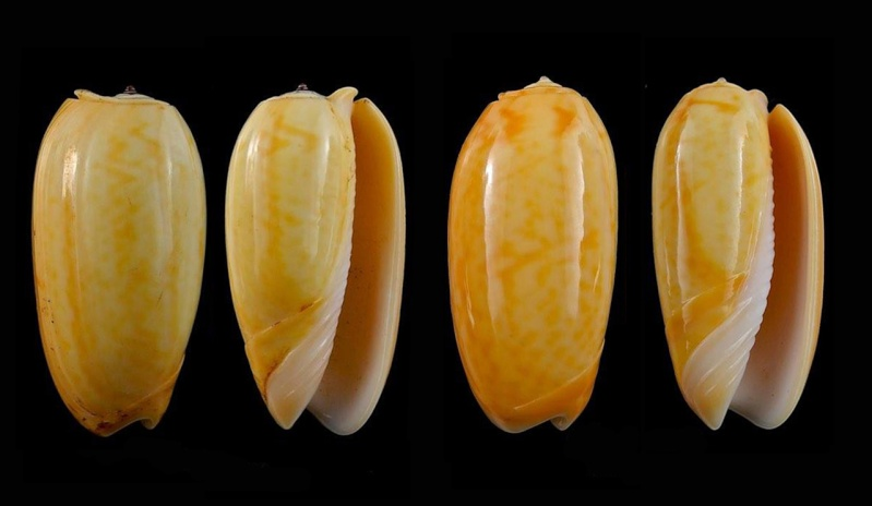Viduoliva westralis (Petuch & Sargent, 1986) - Worms = Oliva westralis Petuch & Sargent, 1986 Oliva_88