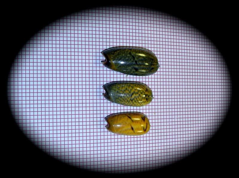Viduoliva westralis (Petuch & Sargent, 1986) - Worms = Oliva westralis Petuch & Sargent, 1986 Oliva_93