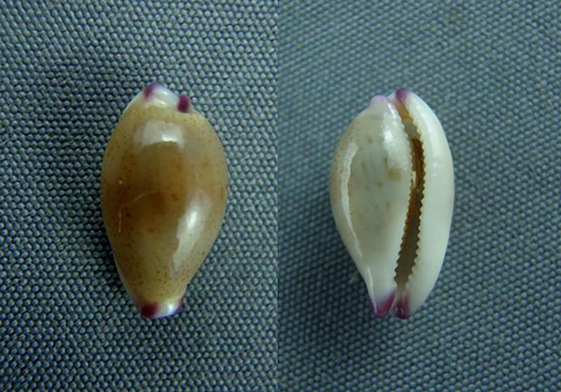 Purpuradusta microdon chrysalis - (Kiener, 1843) Orchid10