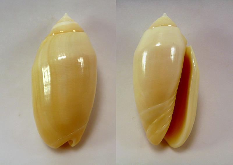 Annulatoliva annulata nebulosa (Dautzenberg, 1927) voir Annulatoliva annulata (Röding, 1798) P1020611