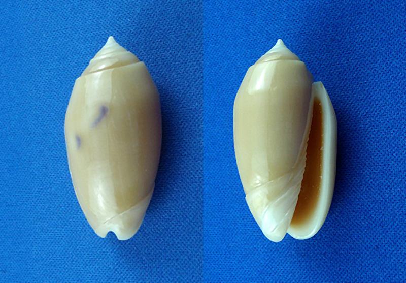 Annulatoliva annulata nebulosa (Dautzenberg, 1927) voir Annulatoliva annulata (Röding, 1798) Photos10