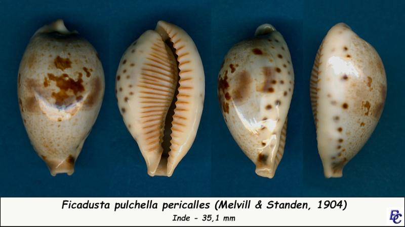 Ficadusta pulchella pericalles - (Melvill & Standen, 1904) Pulche12