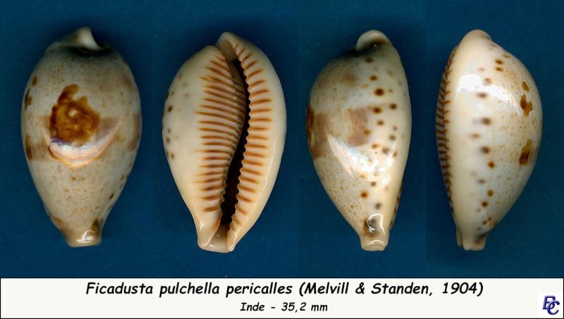 Ficadusta pulchella pericalles - (Melvill & Standen, 1904) Pulche13