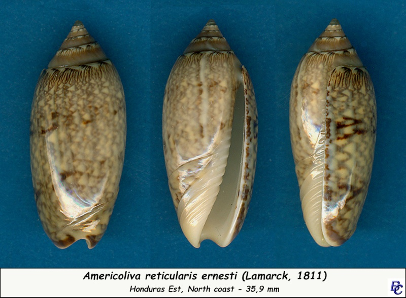 Americoliva reticularis ernesti (Petuch, 1990) Reticu10