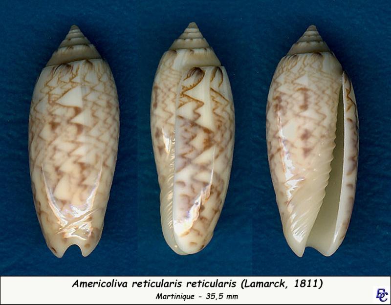 Americoliva reticularis reticularis (Lamarck, 1811) Reticu12