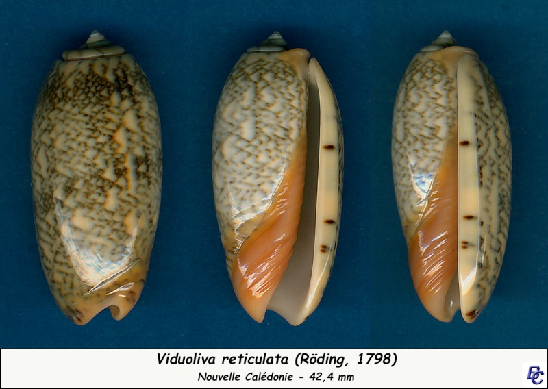 Viduoliva reticulata (Röding, 1798) Reticu14