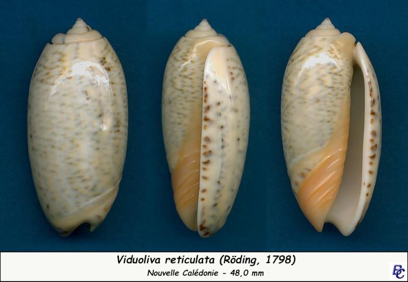Viduoliva reticulata (Röding, 1798) Reticu15
