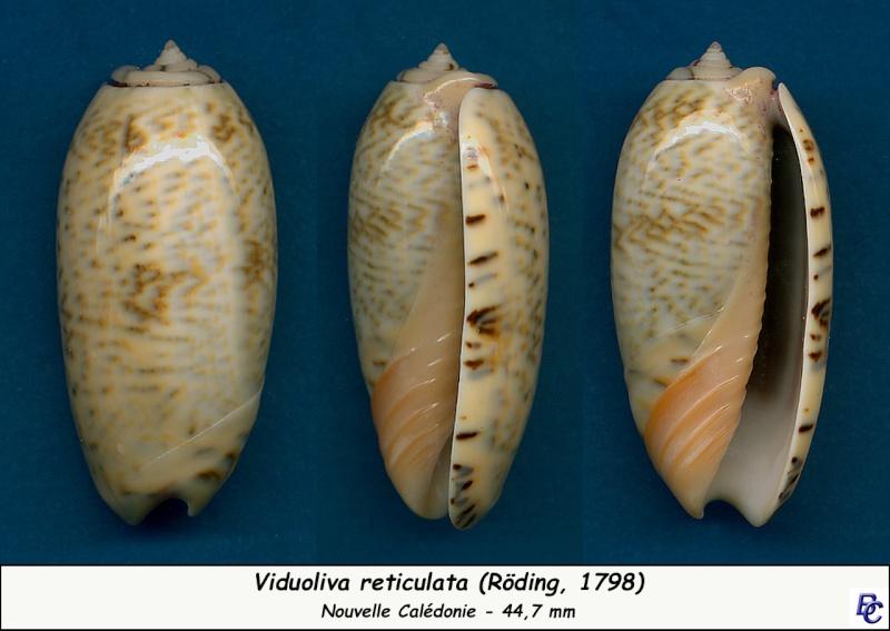 Viduoliva reticulata (Röding, 1798) Reticu18