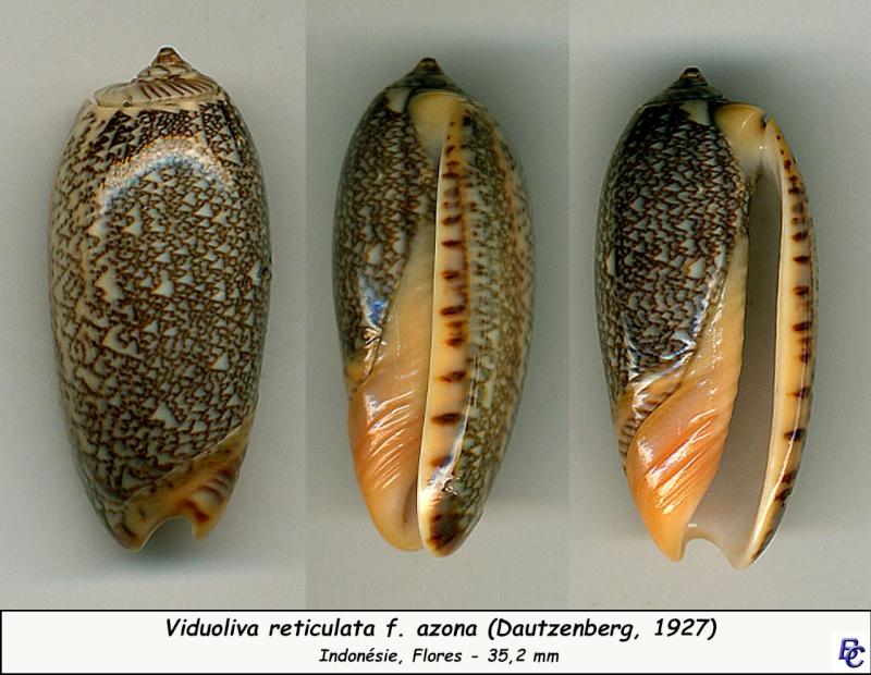 Viduoliva reticulata f. azona (Dautzenberg, 1927) Reticu19