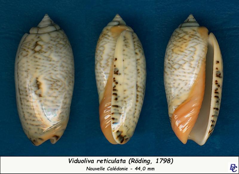 Viduoliva reticulata f. evania (Duclos, 1835) Reticu20
