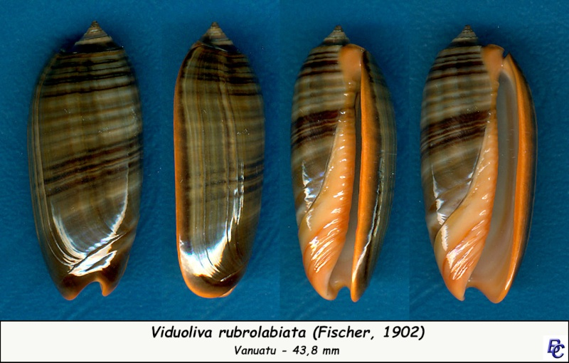 Viduoliva rubrolabiata (Fischer, 1903) - Page 2 Rubrol11