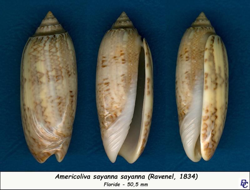 Americoliva sayana sayana (Ravenel, 1834) Sayana13