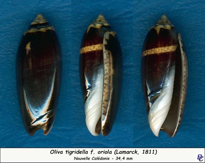 Oliva tigridella f. oriola (Lamarck, 1811) Tigrid12