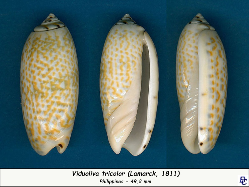 Viduoliva tricolor (Lamarck, 1811) Tricol10