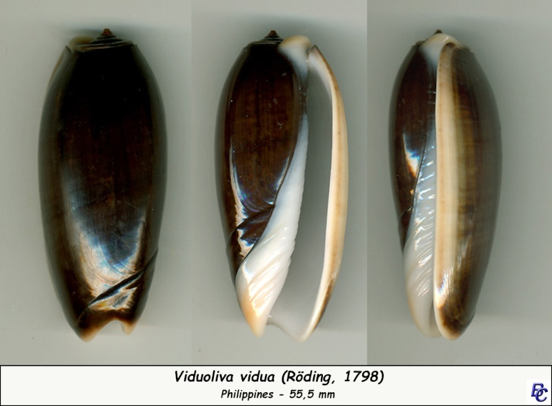 Viduoliva vidua (Röding, 1798) Vidua_10