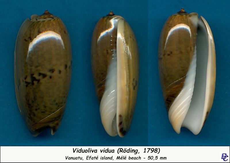 Viduoliva vidua (Röding, 1798) Vidua_13