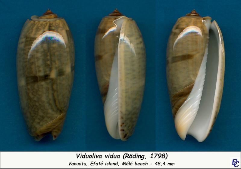 Viduoliva vidua (Röding, 1798) Vidua_14