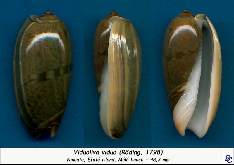Viduoliva vidua (Röding, 1798) Vidua_15