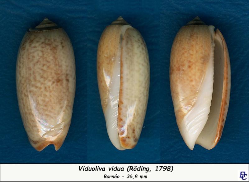 Viduoliva vidua macleaya (Duclos, 1840) Vidua_17
