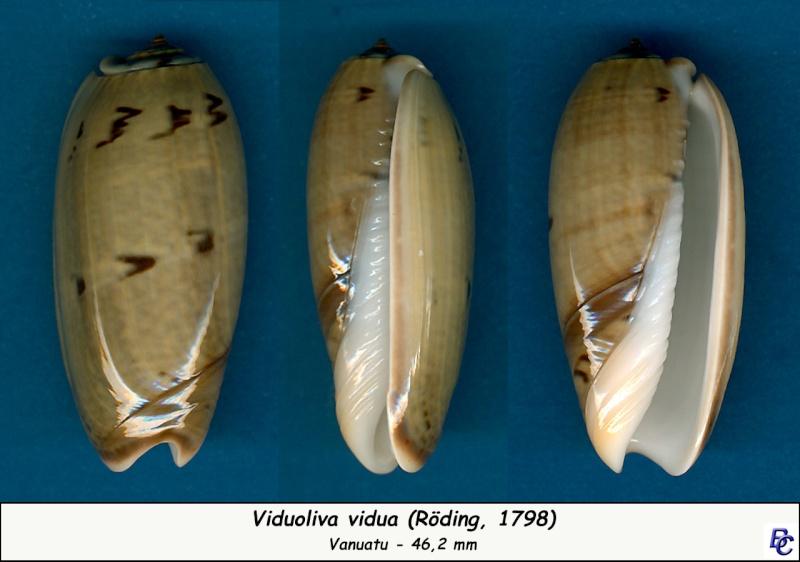 Viduoliva vidua f. albofasciata (Dautzenberg, 1927) Vidua_18