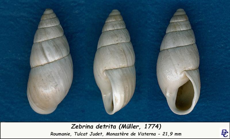 Zebrina detrita (Müller, 1774) Zebrin10
