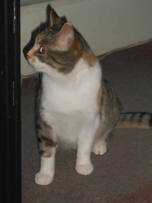 Ava tricolore et Amber tricolore et blanche - nées en 2011 e Rscn3613