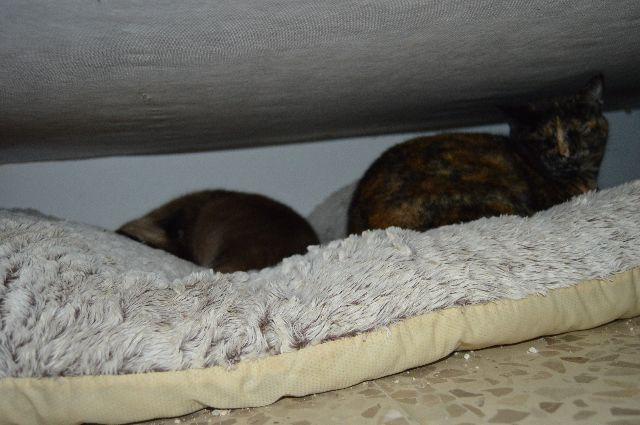 Canis - Capi / Capitana   08-02-54