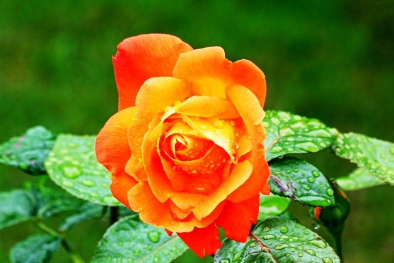 Bégonias  ( et autres fleurs ) Rose_o10