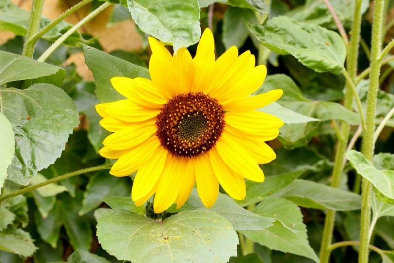 Bégonias  ( et autres fleurs ) Tourne10