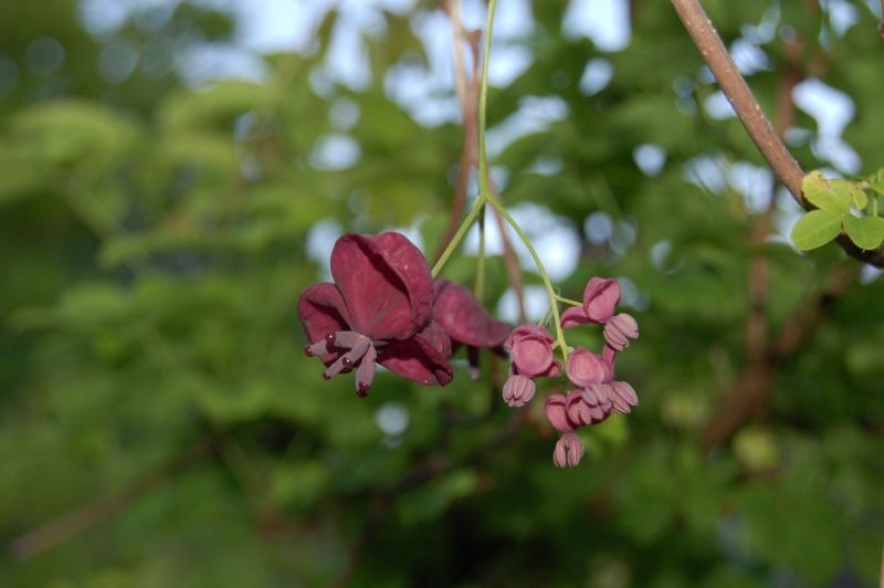 plante grimpante akébia Dsc_3610