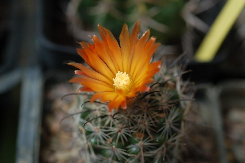 notocactus subterraneus Dsc_4516