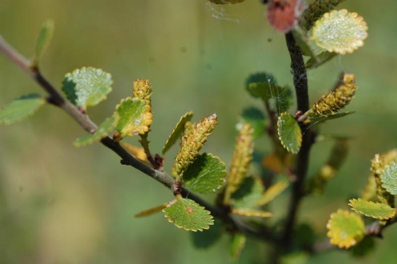 une relique des glaciations dans le Jura : le bouleau nain (betula nana) à la tourbière de Mouthe Dsc_4710