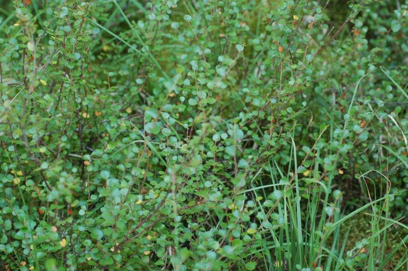 une relique des glaciations dans le Jura : le bouleau nain (betula nana) à la tourbière de Mouthe Dsc_4711