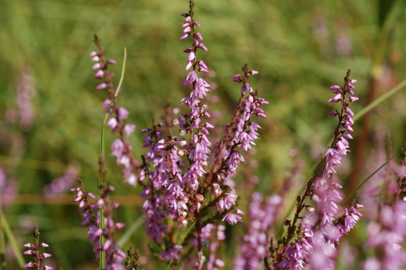 calluna vulgaris Dsc_4717