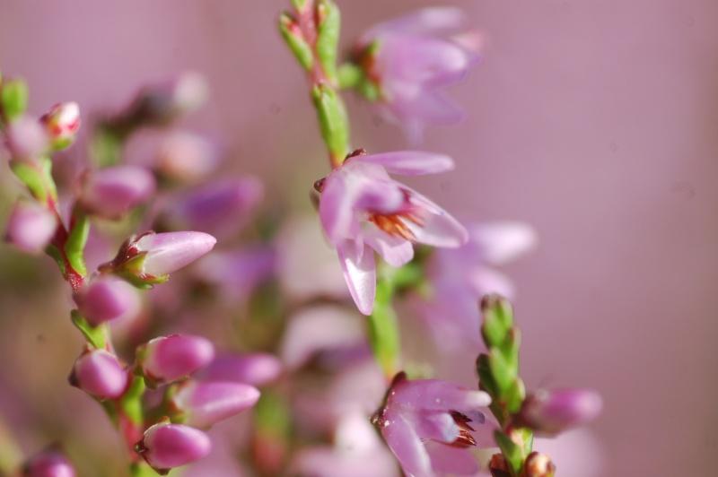 calluna vulgaris Dsc_4718