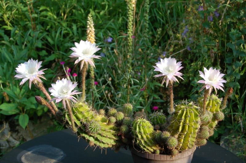 echinopsis  Dsc_4721