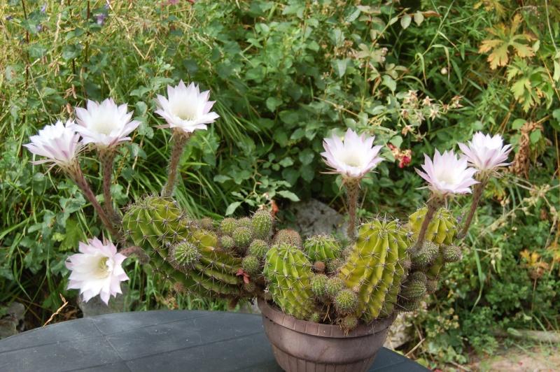 echinopsis  Dsc_4815